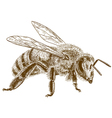 engraving honey bee vector image vector image