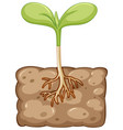 plant growing from underground vector image vector image