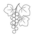 a branch berries currant medicinal plant vector image vector image