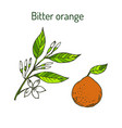 bitter orange twig with flowers vector image vector image