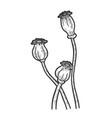 poppy flower seed head sketch vector image