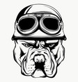 face bulldog biker with helmet vector image vector image