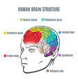 human brain structure vector image