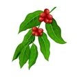 Coffee branch Coffee plant with coffee leaf vector image