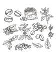 coffee plants sketch vintage black beans tasty vector image vector image