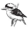 kookaburra vintage vector image vector image