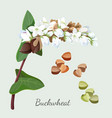 buckwheat plant and its seeds isolated vector image