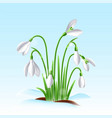 spring snowdrop flowers on a snow vector image vector image