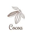 Cocoa beans sketch vector image