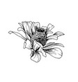 hand-drawn helenium autumnale flower sketch vector image