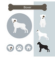 boxer dog breed infographic vector image vector image