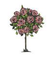 rose bush engraving vector image vector image