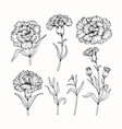 carnation flower drawing vector image vector image