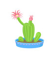 cactus with pink flowers home plant in a vector image vector image
