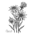 engraved chamomile isolated on vector image vector image