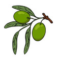 olive tree branch with olives design element vector image vector image