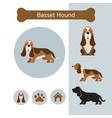 basset hound dog breed infographic vector image vector image