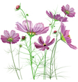 Garden flowers Cosmos bipinnatus vector image vector image