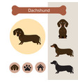 dachshund dog breed infographic vector image