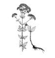 origanum vulgare botanical sketch vector image vector image
