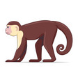 capucin monkey animal on a white background vector image vector image