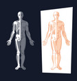 human body anatomy vector image