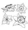 realistic hand drawn sketch with flowers daffodils vector image