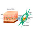 fibroblast and skin structure vector image