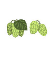 set hop cone plants hops on branch with leaves vector image