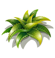Aloe descoingsii vector image vector image