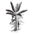 bearing banana plant vintage vector image vector image