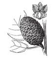 cone of yellow birch vintage vector image vector image