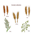 set of cereals barley rye oats rice and wheat vector image vector image
