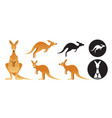kangaroo set vector image