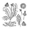 dandelion pharmacy medical benefits vector image vector image