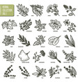 hand drawn set of herbs and spices vintage vector image