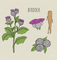 burdock medical botanical isolated vector image vector image