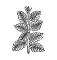 nicotiana tobacco plant sketch engraving vector image vector image