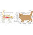 cat anatomy vector image vector image