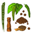 black pepper spice and peppercorns set sketch vector image