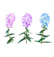 phlox spring flowers vector image vector image