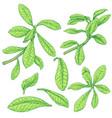 synadenium branches sketch vector image vector image
