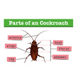 Diagram showing parts of cockroach vector image vector image