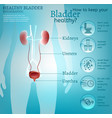 healthy bladder infographic vector image