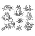 sketches sea buckthorn berry on branches vector image