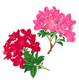 branches pink and red flowers rhododendrons vector image vector image