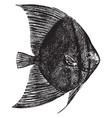 sea bat vintage vector image vector image