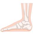 Foot bone in closer look vector image vector image