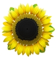 Sunflower on white background vector image vector image