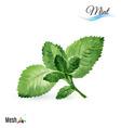 Watercolor mint vector image vector image